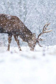 Winter, deer in the snow. Winter Szenen, I Love Winter, Winter Magic, Winter Christmas, Winter White, Merry Christmas, Woodland Christmas, Beautiful Creatures, Animals Beautiful
