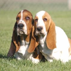 Basset Hounds #dogs #animal   ...........click here to find out more     http://googydog.com