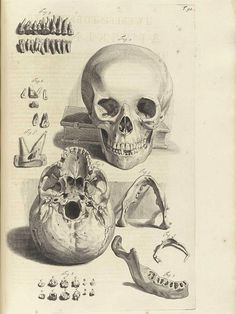 Illustration of the skull, mandible, and teeth.    #anatomy #skull #teeth