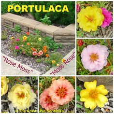 Portulaca - Rose Moss - Moss Rose - whichever name you use, this plant is 99% carefree!