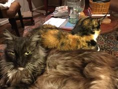 https://flic.kr/p/DvboK3 | Dusty and Iris on my lap | This is where Gabriel always used to be. Dusty is now taking advantage of the empty space (or half-space) on my lap.