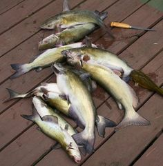 10 Places You'll Always Find Catfish. Pictured: Fiddler Channel Catfish. Fiddlers are 1-2 Lb Eating-Size Channel Cats.