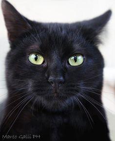 Black Cat photo by Marco Galli. Black Cat Art, Cute Black Cats, White Cats, Black Kitty, All Black Cat, Pretty Cats, Beautiful Cats, Animals Beautiful, Cute Animals