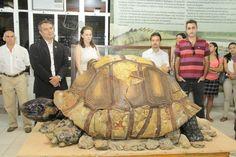 Fóssil de Jabuti pré-histórico com 1,65m .Lab.Pesquisas Palentológicas Rio Branco, Acre (Foto: Glauco Capper / Ascom / Ufac)