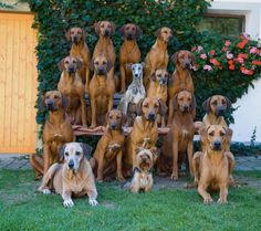 1380836_443709092407088_1707788479_n.jpg (960×853) I find this photo so endearing: A family of Ridgebacks, a few of their friends, and the matriarch (or patriarch) on the left.