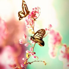 Uploaded by ♡ Silver Wings ♡. Find images and videos about pink, nature and flowers on We Heart It - the app to get lost in what you love. Butterfly Kisses, Butterfly Flowers, Beautiful Butterflies, Madame Butterfly, Pink Flowers, Flowers Garden, Butterfly Wings, Quelques Photos, Belle Photo