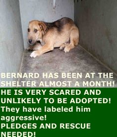 A4826563 My name is Bernard and I'm an approximately 1 year old male terrier. I am not yet neutered. I have been at the Downey Animal Care Center since May 5, 2015. I am available on May 9, 2015. You can visit me at my temporary home at D617. https://www.facebook.com/photo.php?fbid=878620822218251&set=pb.100002110236304.-2207520000.1433079938.&type=3&theater