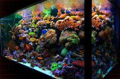 Live coral -- amazing colors! Aquarium Design Group