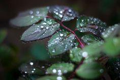Water Drops Rain Photograph - droplets leaves nature photography - 8x12 Fine Art Photo Print