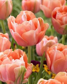 Tulip 'Menton Exotic'