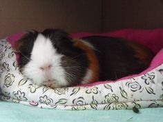 Guinea Pig bed... I want!