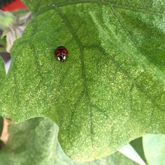 Yay! This little lady has come to help me fight off the #aphids that attack my #eggplant.  #hydroponics #foodgarden #growyourownfood #urbanagriculture #apartmentgarden #vegetablegarden #indoorgarden #harperponics #ladybug