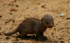 mongoose animal -Baby Mongoose