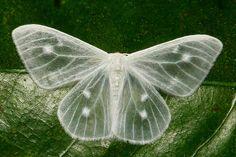 Ghostly moth