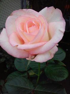 Szerelem rózsája