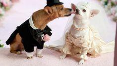 Chiuaua wedding