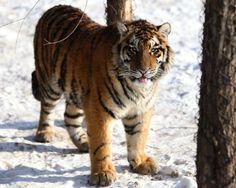 Tigre Siberiano (Panthera tigris altaica)