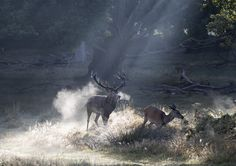 https://flic.kr/p/MLDd8a | Richmond Park. | Stag chasing hind at Richmond Park, London.