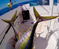 Buckets of fun... And yellowfins #regulatormarine #offshorelife #regulator23 #yellowfintuna #sterlingtackle #pennfishing #yamaha #njtuna by cfalicon