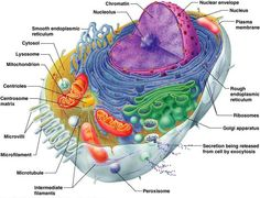 Anatomy & Physiology 120 > Lavender > Flashcards > Anatomy & Physiology I, Exam 1: The Cell   StudyBlue