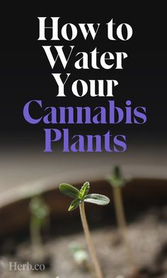 Our Complete Guide To Watering Your Cannabis Plants Growing Weed, Medical Benefits Of Cannabis, Medical Marijuana, Cannabis Edibles, Cannabis Plant, Weed Plants, Medicinal Plants, Health And Fitness, Workout Exercises