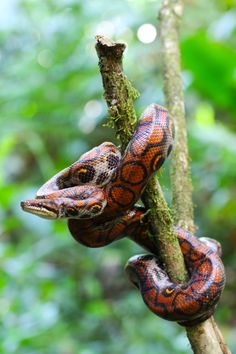 Rainbow Boa by JP Lawrence on 500px