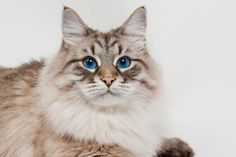 Siberian Cat - History and Cat Facts