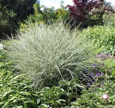 Miscanthus sp. Christchurch Botanic Gardens New Zealand