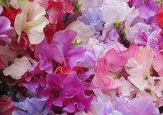 Sweet Peas is a climbing plant that loves water and sunshine. So pick a sunny spot again, somewhere close to your fence, and plant your sweet peas. Water them on regular basis and they will pay back to you with their amazingly beautiful blossom. The best part about this plant is the more you pick it, the more it blooms. Isn't that wonderful?