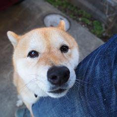 Pinを追加しました!/オヤツくれないと離れませんよ! #shiba #dog #komugi #shibe #doge #柴犬