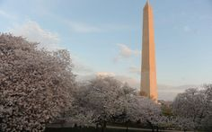 Washington Monument when the cherry trees are in bloom