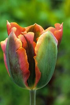 Tulip 'Artist' is an exotic and amazing tulip with flushes of golden orange and green. It will last for decades in the garden so it's super ...