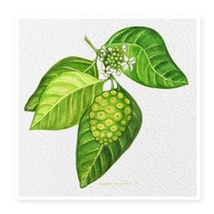 Noni is a fruit that is native to the South Pacific Islands containing over 170 vitamins and minerals alone. It is also a powerful antioxidant that boosts the immune system! Miranda Kerr regards it as one of her greatest secrets to flawless skin Noni Juice, Noni Fruit, Polynesian Islands, Different Forms Of Art, Organic Lines, Key Ingredient, Flawless Skin, South Pacific, Dark Spots