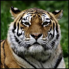 Tiger - http://www.1pic4u.com/blog/2014/12/23/tiger-121/