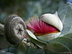 Eucalyptus flower-bud opening-up - The Cap / Lid coming-off! Flowers and plants Unusual Flowers, Unusual Plants, Rare Flowers, Amazing Flowers, Pretty Flowers, Flowers Pics, Exotic Plants, Pink Flowers, Cactus Y Suculentas