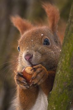 Red Squirrel with a Hazelnut .- Red Squirrel with a Hazelnut …… Red Squirrel with a Hazelnut …… - Forest Animals, Nature Animals, Woodland Animals, Animals And Pets, Cute Funny Animals, Cute Baby Animals, Beautiful Creatures, Animals Beautiful, Animals Tattoo