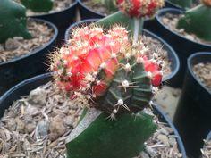 Kaktus mini half red