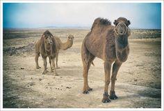 Camels Urgench