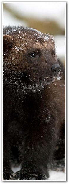VICTORY FOR WOLVERINES-  http://earthjustice.org/news/press/2013/rare-wolverines-closer-to-getting-long-awaited-federal-protections