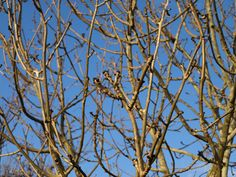 Ash buds. A typical winter view.