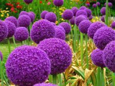 200 pcs Giant Allium Giganteum Bonsai Flower Plant Purple Allium Organic Gorgeous Flower for Garden Decoration Pretty Flowers, Planting Flowers, Plants, Purple Garden, Beautiful Flowers, Red Lily Flower, Allium Giganteum, Bonsai Flower, Flower Seeds