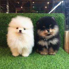 Ughhhhh so great #DogSupply #pomeranian