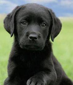 Black Lab (Maggie) Black Labrador Retriever, Golden Retriever, Retriever Puppy, Labrador Dogs, Beagle, Golden Labrador, Golden Puppy, Doberman Dogs, Black Lab Puppies