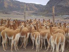 Vicuñas en Huancavelica.