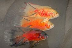 "AKVARYUM Bilgi Paylasim on Instagram: ""🤺💓Male Longfin Oscars 💓🤺 @Anderson Marciel @oscarfishbrazil . . #aquarium #fish #aquascape #fishtank #aquariumhobby #aquascaping #reef…"""