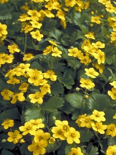 Waldsteinia Fragarioides -- Bluestone Perennials