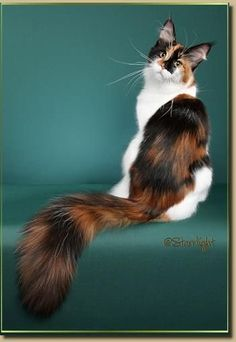 Maine Coon Cat N Kittens of Cascade Mountain Main Coons Cattery - Vancouver, Washington