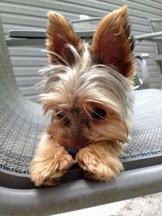 "Outstanding ""Yorkshire Terriers"" info is offered on our website. Read more and you wont be sorry you did. Yorkies, Yorkie Puppy, Yorshire Terrier, Silky Terrier, Cute Puppies, Cute Dogs, Dogs And Puppies, Cute Baby Animals, Funny Animals"