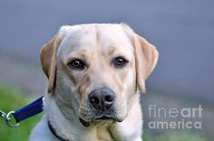 #GUIDE #DOG IN #TRAINING  #Animal #Photography Quality Prints and Cards at:  http://kaye-menner.artistwebsites.com/featured/guide-dog-in-training-kaye-menner.html  -