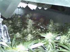 Week 4 Bubble Gum 2000 watt SuperMax CFL Growl.ight